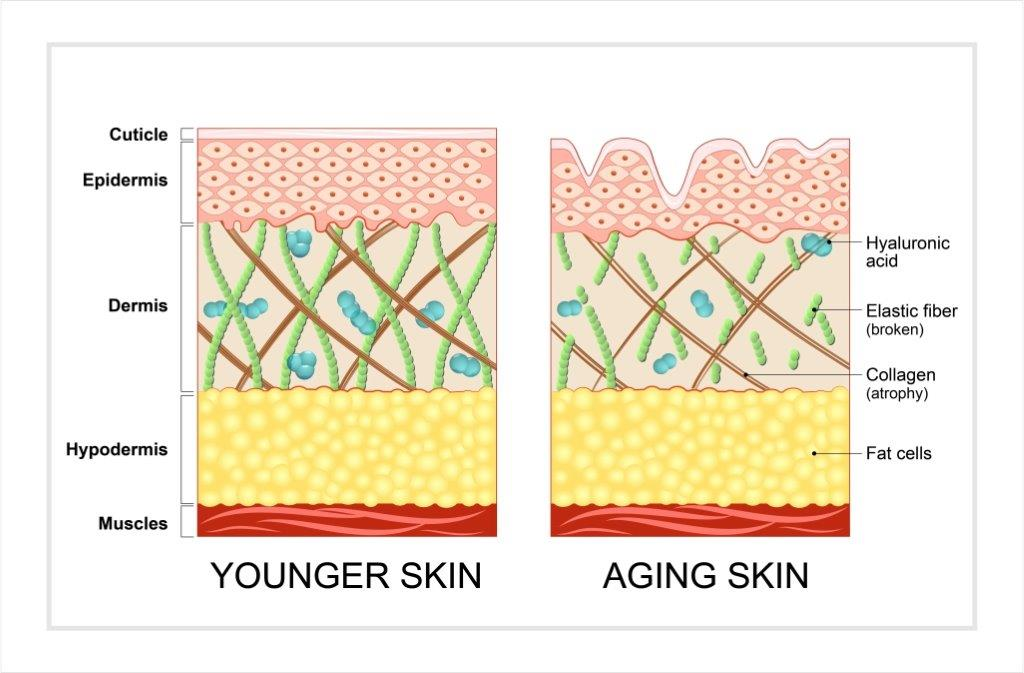 collagen synthesis, hyaluronic acid and cell turnover